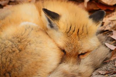 (C) Red Fox asleep at Virginia Living Museum, Newport News, VA. © 2012 Kenneth R. Sheide