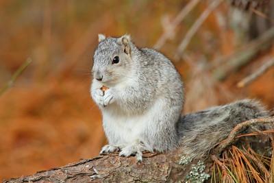 Delmarva Fox Squirrel (Sciurus niger cinereus)). Chincoteague NWR, VA. © 2012 Kenneth R. Sheide