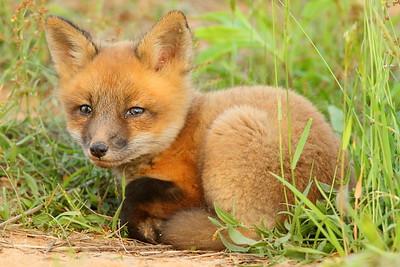 Resting fox kit, VA. © 2013 Kenneth R. Sheide