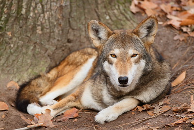 Critically endangered (C) Red Wolf at Virginia Living Museum, Newport News, VA. © 2012 Kenneth R. Sheide