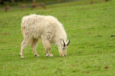 Mountain Goat (Oreamnos americanus) (c) grazing in a field in Washington. © 2007 Kenneth R. Sheide
