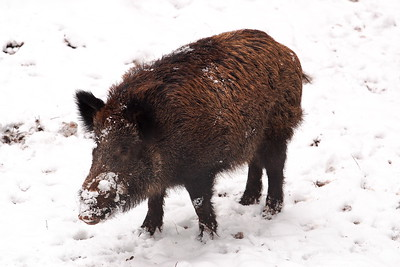 Young wild boar (c) searching for food under the snow at the Wild und Wanderpark, Silz, Germany. © 2004 Kenneth R. Sheide