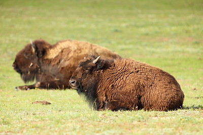 Bison warming up in the morning sun at Yellowstone National Park, WY. © 2013 Kenneth R. Sheide