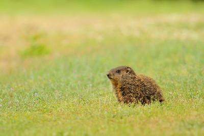 Baby groundhog (Marmota monax) in Smithfield, VA. © 2012 Kenneth R. Sheide