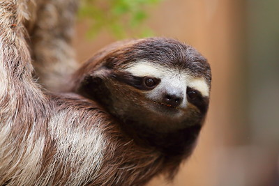 (C) Sloth at Dallas World Aquarium, TX. © 2015 Kenneth R. Sheide