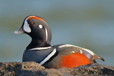 Harlequin Duck at Barnegat Jetty, NJ. © 2011 Kenneth R. Sheide