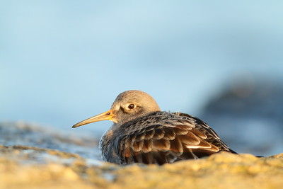 Purple Sandpiper at Barnegat Jetty, NJ. © 2011 Kenneth R. Sheide