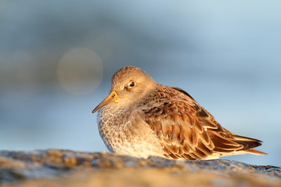 Purple Sandpiper with the irridescent purple in its plumage visible in the morning light. Barnegat Jetty, NJ. © 2011 Kenneth R. Sheide