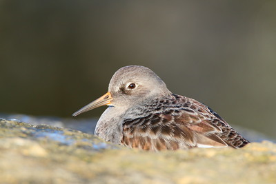 Purple Sandpiper with irridescent feathers at Barnegat Jetty, NJ. © 2011 Kenneth R. Sheide