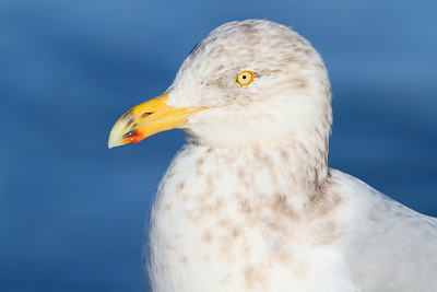 Herring Gull at Barnegat Jetty, NJ. © 2011 Kenneth R. Sheide