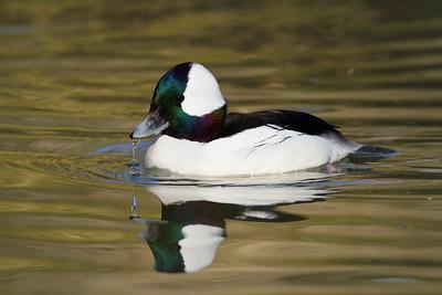 Bufflehead (c) at Sylvan Heights Bird Park, Scotland Neck, NC. © 2011 Kenneth R. Sheide