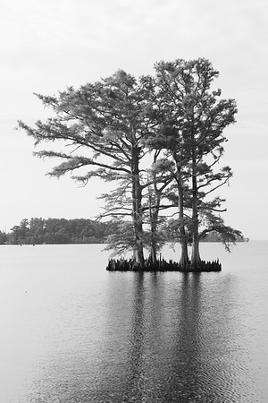 Bald cypress at Edenton, NC. © 2014 Kenneth R. Sheide