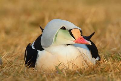 King Eider (c) at Sylvan Heights Bird Park, Scotland Neck, NC. © 2011 Kenneth R. Sheide