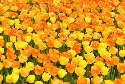 Mass of tulips in PA. © 2014 Kenneth R. Sheide