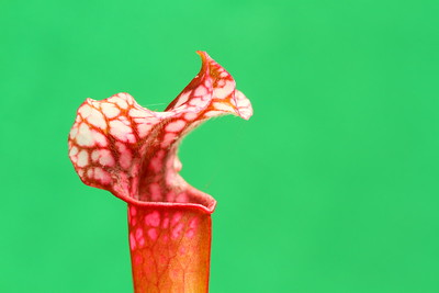 Pitcher plant, PA. © 2014 Kenneth R. Sheide