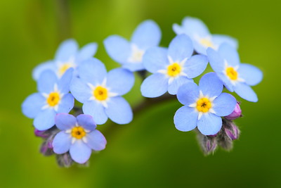 Cluster of small blue flowers, PA. © 2014 Kenneth R. Sheide