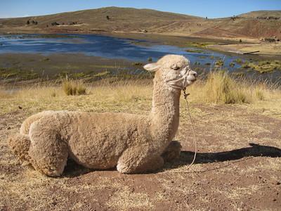 Alpaca resting above Umayo Lake at Sillustani, Peru. © 2012 Kenneth R. Sheide