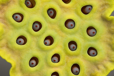 Lotus seeds, Norfolk Botanical Garden, VA. © 2013 Kenneth R. Sheide