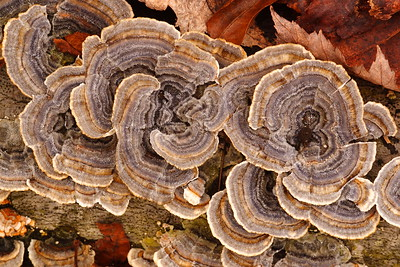 Turkey Tail (Trametes versicolor) mushrooms in Hampton, VA. © 2006 Kenneth R. Sheide