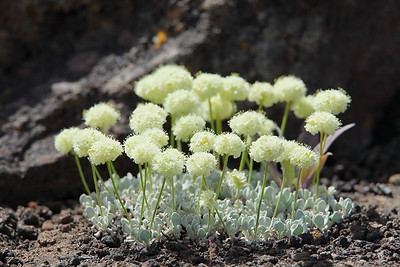 Flowers in the lava rock at Craters of the Moon National Monument, ID. © 2013 Kenneth R. Sheide