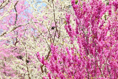 Trees laden with spring blooms, Norfolk Botanical Garden, VA. © 2014 Kenneth R. Sheide