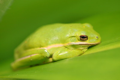 Green tree frog at Norfolk Botanical Garden, VA. © 2013 Kenneth R. Sheide