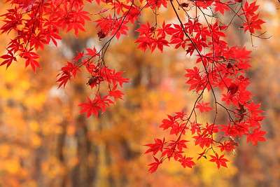 Red maple leaves with trees laden with yellow leaves in distance. Williamsburg, VA. © 2013 Kenneth R. Sheide