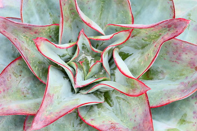 Succulent detail, Lewis Ginter Botanical Garden, Richmond, VA. © 2014 Kenneth R. Sheide