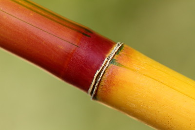 Bamboo segment at Norfolk Botanical Garden, VA. © 2012 Kenneth R. Sheide