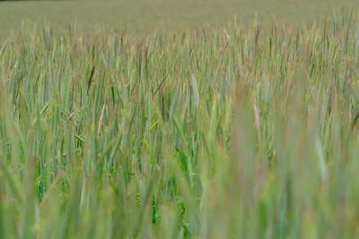 Wheat field near Weilerbach, Germany. © 2005 Kenneth R. Sheide