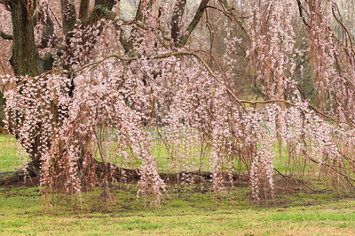 Weeping cherry tree in bloom, Norfolk Botanical Garden, VA. © 2013 Kenneth R. Sheide