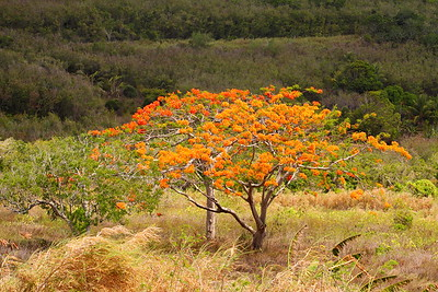 Flame tree on Saipan. © 2010 Kenneth R. Sheide