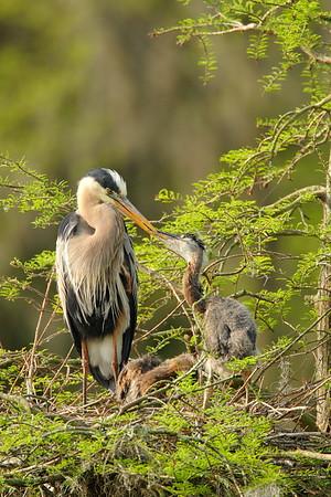 Great Blue Heron (Ardea herodias) feeding chicks. Audubon Swamp, Magnolia Plantation, SC. © 2008 Kenneth R. Sheide
