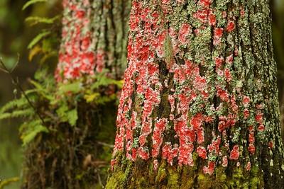 Red Christmas Lichen (Cryptothecia rubrocincta) on Tupelo trees. Audubon Swamp, Magnolia Plantation, Charleston, SC. © 2021 Kenneth R. Sheide