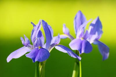 Southern Blue Flag Iris (Iris virginica) at Audubon Swamp, Magnolia Plantation, Charleston, SC. © 2021 Kenneth R. Sheide