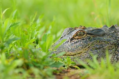 American Alligator (Alligator mississippiensis) resting among grasses at Audubon Swamp, Magnolia Plantation, Charleston, SC. © 2021 Kenneth R. Sheide
