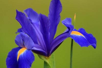 Blue Flag Iris at Audubon Swamp, Magnolia Plantation, SC. © 2008 Kenneth R. Sheide