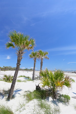 Palms struggle to survive in the sand on Hunting Island, SC. © 2021 Kenneth R. Sheide
