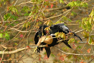 Anhinga mating at Audubon Swamp, Magnolia Plantation, SC. © 2008 Kenneth R. Sheide