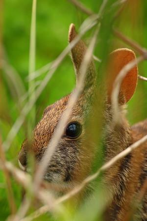 Swamp Rabbit (Sylvilagus aquaticus) in Audubon Swamp, Magnolia Plantation, SC. © 2008 Kenneth R. Sheide