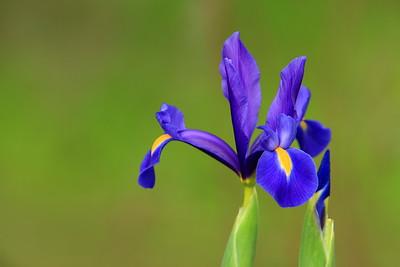 Blue Flag Iris. Audubon Swamp, Magnolia Plantation, SC. © 2008 Kenneth R. Sheide