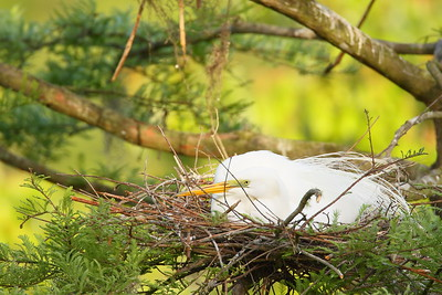 Great Egret (Ardea alba) on nest in Audubon Swamp, Charleston, SC. © 2011 Kenneth R. Sheide