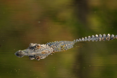 Alligator at Audubon Swamp, Magnolia Plantation, SC. © 2008 Kenneth R. Sheide