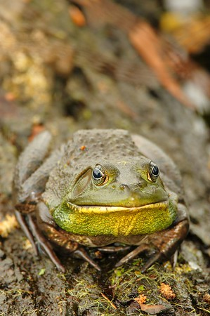 Bullfrog at Audubon Swamp, Magnolia Plantation, SC. © 2008 Kenneth R. Sheide