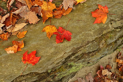 Maple leaves in the forest near Jerico, VT. © 2007 Kenneth R. Sheide