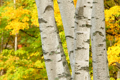 Birch trees with bright autumn colors in background. Near Reading, VT. © 2007 Kenneth R. Sheide