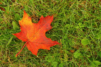 One of numerous maple leaves that had fallen on the grass at Killington, VT. © 2007 Kenneth R. Sheide