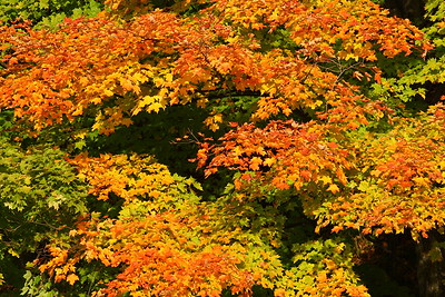 Maples in three stages of change; some still green, some yellow, and others orange. Woodstock, VT. © 2007 Kenneth R. Sheide