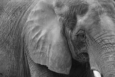 (C) Elephant at Norfolk Zoo, VA. © 2013 Kenneth R. Sheide