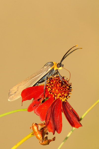Yellow-Collared Scape Moth (Cisseps fulvicollis) feeding on a flower in Hampton, VA. © 2007 Kenneth R. Sheide